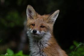 Den trevliga räven